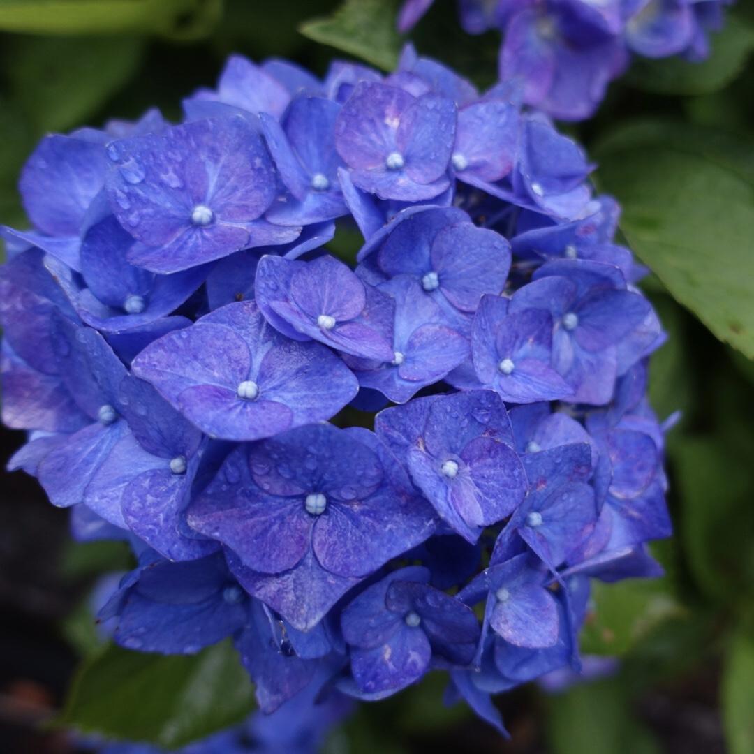 紫陽花と抹茶と😊🌂